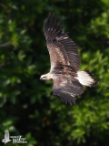 Immature White-bellied Sea-eagle (probably first winter)