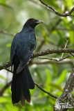 Adult male Asian Koel