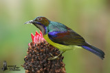 Adult male Brown-throated Sunbird