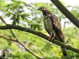 Adult pale morph Crested Honey Buzzard (presumably female of ssp. orientalis)