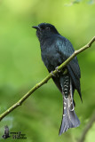 Adult Square-tailed Drongo Cuckoo