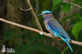 Adult Indian Roller