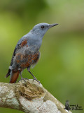 Adult male Blue Rock Thrush moulting