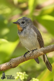 Adult male Taiga Flycatcher in moult