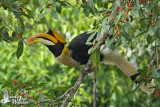 Adult male Great Hornbill