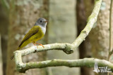 Adult Grey-headed Canary-Flycatcher