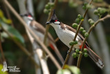 Adult Red-whiskered Bulbul