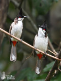 Adult Red-whiskered Bulbuls