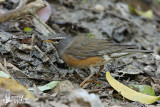 Adult male Eyebrowed Thrush