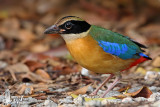 Adult Blue-winged Pitta