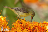 Female or immature Brown-throated Sunbird (ssp. malacensis)