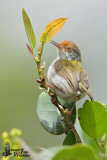 Adult female Common Tailorbird