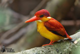 Adult Rufous-backed Kingfisher