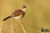 Golden-headed Cisticola in transitional plumage