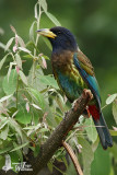 Adult Great Barbet