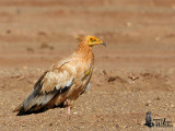 Adult Egyptian Vulture