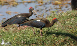 Adult Red-naped Ibis