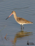 Adult Black-tailed Godwit in non-breeding plumage
