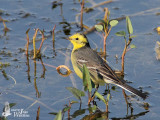 Adult male Citrine Wagtail