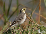 First winter Citrine Wagtail