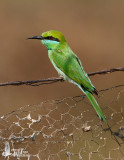 Adult Green Bee-eater