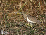 Indian Pond Heron in non-breeding plumage