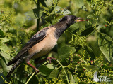Adult Rosy Starling in non-breeding plumage