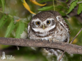 Adult Spotted Owlet