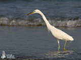 Chinese Egret in non-breeding plumage