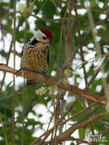 Male Fulvous-breasted Woodpecker
