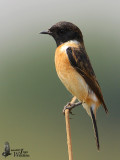 Male Stejneger's Stonechat assuming breeding plumage