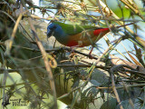 Male Pin-tailed Parrotfinch