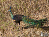 Male Green Peafowl (ssp. imperator)