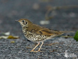 Long-tailed Thrush (with flash)
