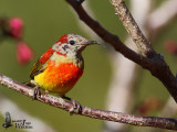 Eclipse male Mrs. Gould's Sunbird