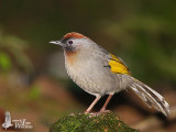 Adult Silver-eared Laughingthrush (ssp. schistaceum)