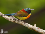 Adult male Green-tailed Sunbird (ssp. angkanensis)