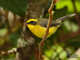Adult Yellow-bellied Fantail