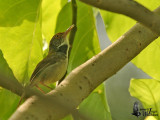 Adult male Common Tailorbird (ssp. maculicollis)