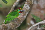 Male Red-throated Barbet