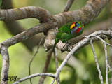 Male Red-throated Barbet (no flash)