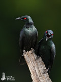 Adult Asian Glossy Starlings