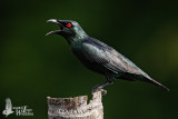 Adult Asian Glossy Starling