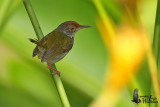 Female Common Tailorbird