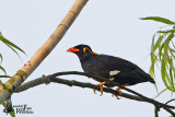 Adult Common Hill Myna
