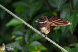 Adult Pied Fantail