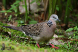 Adult Spotted Dove
