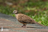 Juvenile Spotted Dove