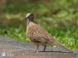 Juvenile Spotted Dove
