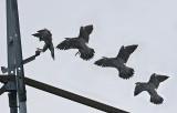 Peregrine landing (Falco peregrinus), Pilgrimsfalk